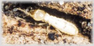 Thermites dans un murier que faire au jardin forum de jardinage - Que faire contre les mites ...